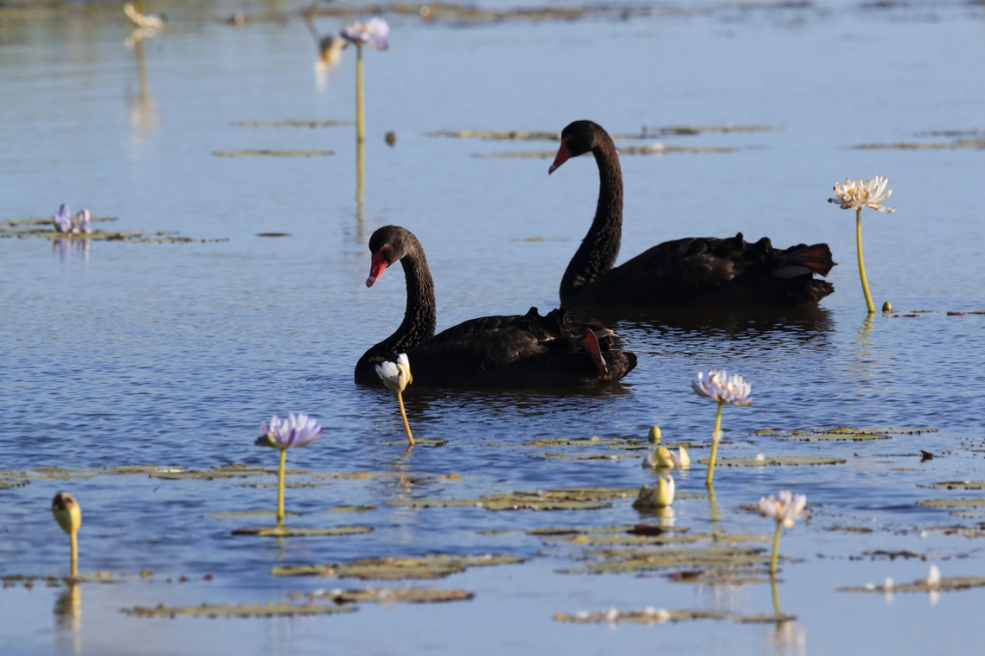 black swan (Cygnus atratus) Queensland, Australia